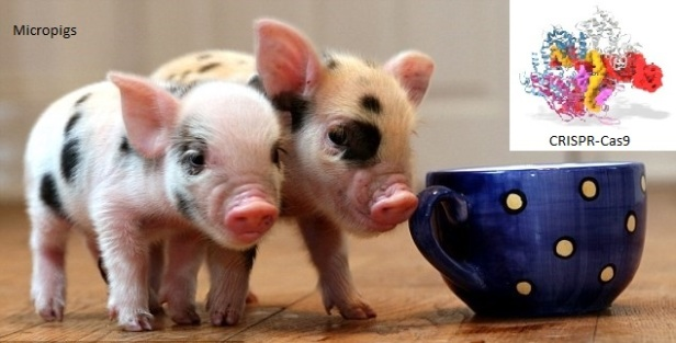 CRISPR-Cas8 genome editing technology has been used to create micropigs that are small enough to fit into teacups.
